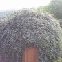 Green igloo ! (Cotoneaster horizontalis (Cotoneaster))