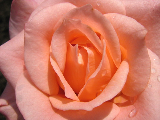 Cupido Miniature Rose Blossom