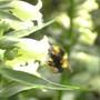 Bumble Bee on Digitalis Lutea