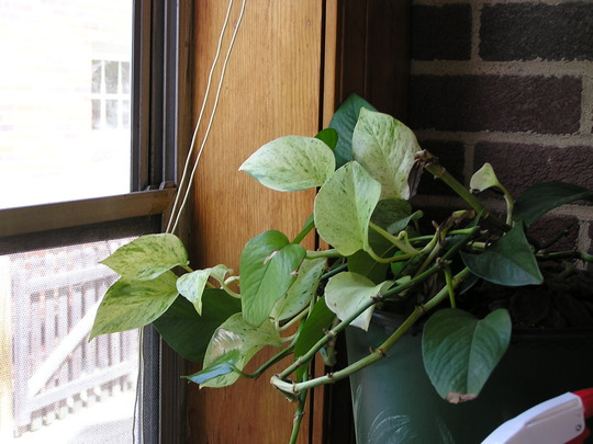 Variegated philodendron (Philodendron scandens (Heart Leaf Philodendron))