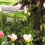 Tulips_pink1