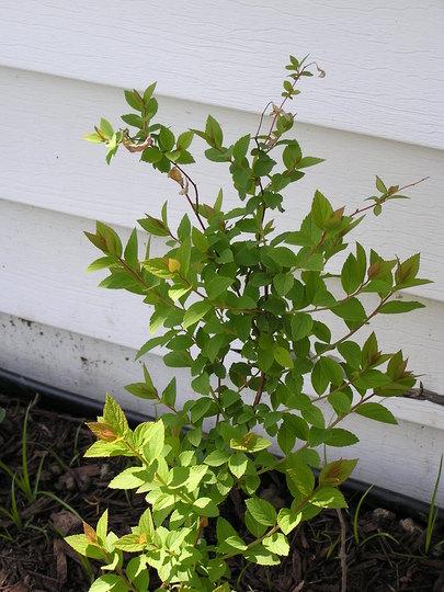 Spirea (Spiraea alba (Broadleaf White Spirea))