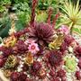 Sempervivums starting to flower