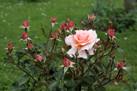 Rose 'Great Expectations' (Rosa 'Great Expectations')