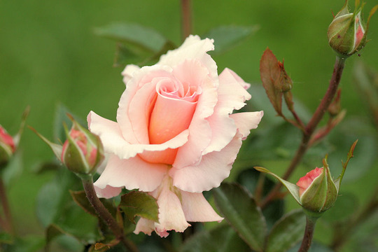 Great Expectations (Rosa 'Great Expectations')