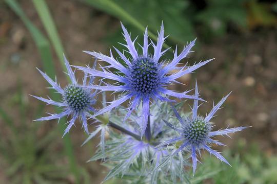 Eryngium 'Big Blue' (Eryngium x big blue (sea holly))