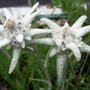 A garden flower photo (Leontopodium alpinum (Edelweiss))