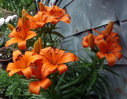 A garden flower photo (Lilium umbellatum)