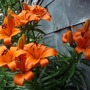 A garden flower photo (Lilium umbellatum)