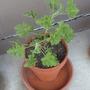 """Newly planted scented geranium """"Attar of Roses.""""  (Pelargonium graveolens (Geranium))"""