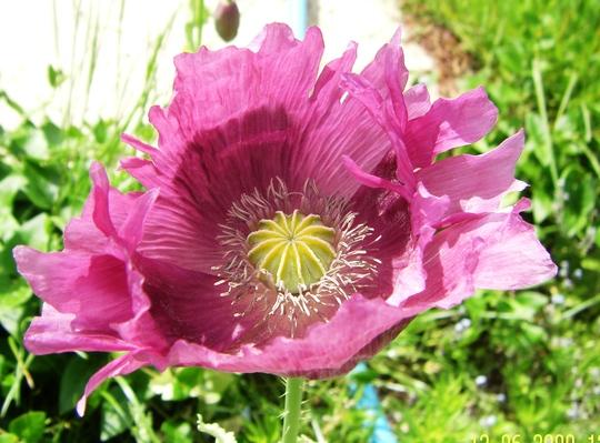 Poppy 12-06-09.jpg