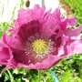 Poppy_12_06_09
