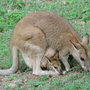 Wallaby_102