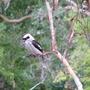 Kookaburra_35