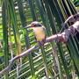 Sacred_kingfisher_4