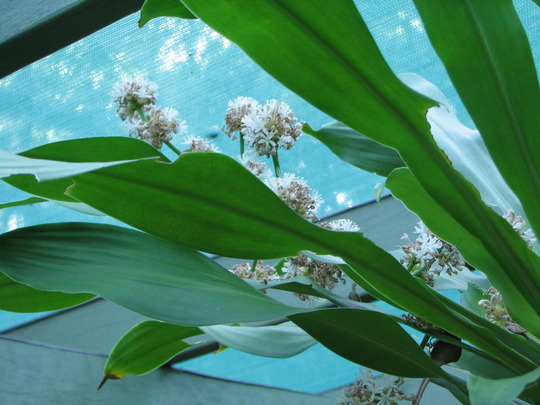Happy Plant - Dracaena fragrans 'Massangeana' (Dracaena fragrans 'Massangeana')