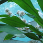 Happy_plant_7_dracaena_fragrans_massangeana_