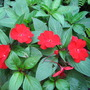 Impatiens_new_guinea_4
