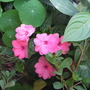 Another New Guinea Impatiens (Impatiens hawkeri (New Guinea impatiens))
