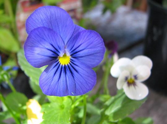 Viola (Violaceae)