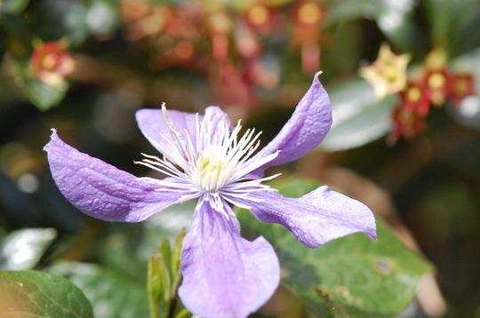 Clematis 'Arabella' (Clematis integrifolia (Clematis))