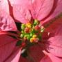 Euphorbia pulcherrima - Poinsettia (Euphorbia pulcherrima (Poinsettia))