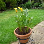 Yellow Callow Lillys