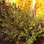 Back_garden_spring_gooseberries_2008_022
