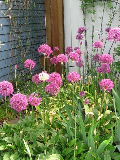 allium everywhere (Allium aflatunense)