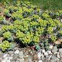 Euphorbia myrsinites (Euphorbia myrsinites (Spurge))