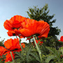 Dsc_1192_papaver_orient_up