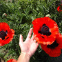 Oriental Poppy 'Allegro' (Papaver orientale (Oriental poppy))