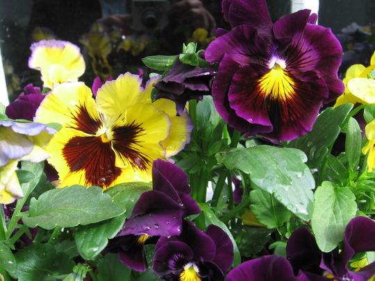 opposite colors (viola odorata, viola tricolor, viola cornuta)