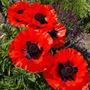 Oriental Poppies (Papaver orientale (Oriental poppy))