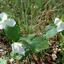 Trilliums - Early Spring (Trillium grandiflorum (Wake robin))