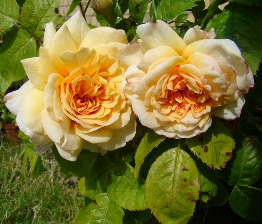 Grace (Rosa)