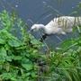 Fluffy Cygnet Looking for Food - Kingston Riverside