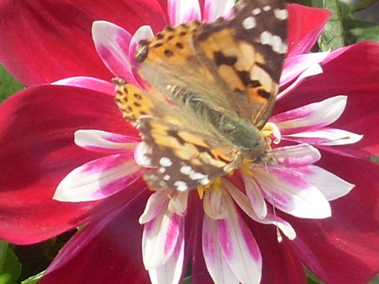 dahlia  'starsister'..oh.. and a butterfly