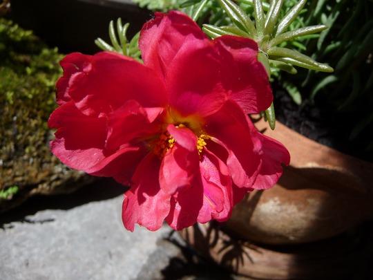 A garden flower photo (Portulaca grandiflora (Double Rose Moss))