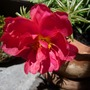 A garden flower photo (Portulaca grandiflora (Double Rose Moss))