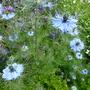 Sky blue Nigella (Nigella damascena (Love-in-a-mist))