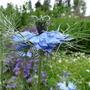 Nigella damascena (Love-in-a-mist)