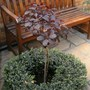 Cotinus (half standard) in box circle
