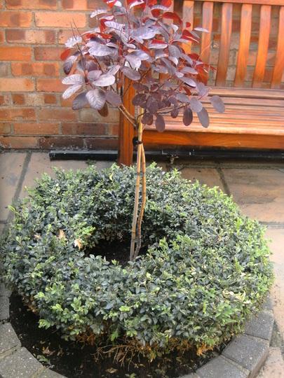Cotinus Smoke Bush (standard) (Cotinus coggygria (Smoke bush))