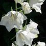 Campanula Persicifolia  Alba Close-up (Campanula persicifolia (Peach-leaved bellflower))