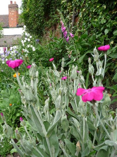 Lychnis Coronaria .... Rose Campion : Grows on You