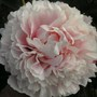 Peony Baroness Schroeder(I think!!??!) (Paeonia lactiflora (Peony))