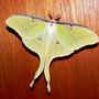 Luna Moth Actias luna (Actias luna)