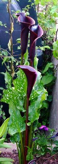 Zantedeschia aethiopica (Arum lily) (Zantedeschia aethiopica)