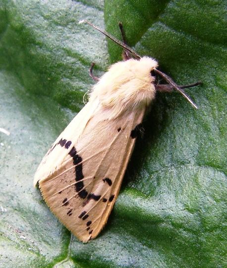 Buff Ermine moth. (Spilosoma luteum.)